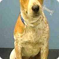 Adopt A Pet :: Shyla-Adoption Pending - Boulder, CO