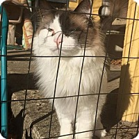 Snowshoe Cat for adoption in Grand Blanc, Michigan - Bobo