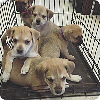 Adopt A Pet :: Pokey - Bradenton, FL