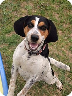 Treeing Walker Coonhound Mix Dog for adoption in Atlanta, Georgia - Lil Morgan