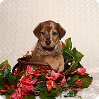 Adopt A Pet :: Lq Litter - Erika - Livonia, MI