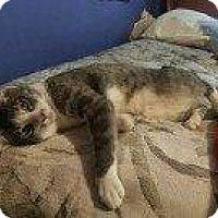 Domestic Shorthair Cat for adoption in Hampton, Virginia - JR