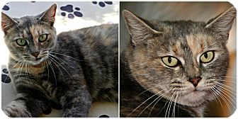 Domestic Shorthair Cat for adoption in Forked River, New Jersey - Cobbler