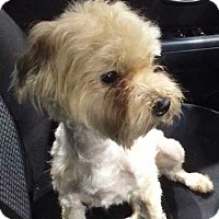Maltese/Yorkie, Yorkshire Terrier Mix Dog for adoption in Concord, California - Redford