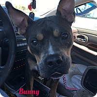 Pit Bull Terrier Mix Dog for adoption in Cheney, Kansas - Bunny