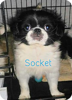 Japanese Chin Puppy for adoption in House Springs, Missouri - Socket