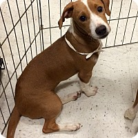 Adopt A Pet :: BLondie 1 in CT - Manchester, CT