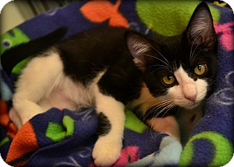 Domestic Shorthair Kitten for adoption in Beaumont, Texas - Geneva