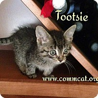 Domestic Shorthair Kitten for adoption in Whitewater, Wisconsin - Tootsie