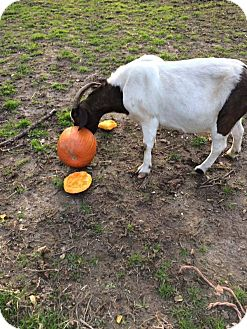 Goat for adoption in Greenfield, Indiana - Stevie Nicks