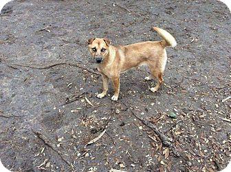 Australian Cattle Dog/Husky Mix Dog for adoption in Mesa, Arizona - CRYSTAL