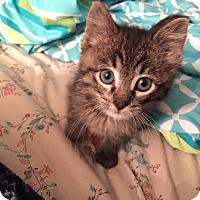 Adopt A Pet :: Sawyer - Geneseo, IL
