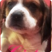 Adopt A Pet :: The Beagles