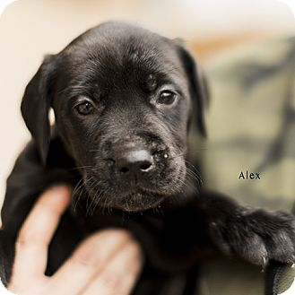 ALEX | Adopted Puppy | Severance, CO | Great Dane/Golden ...