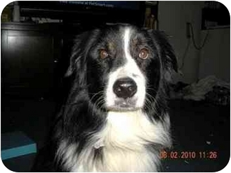 Australian Shepherd Dog for adoption in Orlando, Florida - Ryder