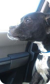 Boxer Mix Dog for adoption in Justin, Texas - Beauty