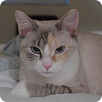 Siamese Cat for adoption in Lighthouse Point, Florida - Alexis