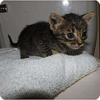 Adopt A Pet :: Baby Tabby - Miami, FL