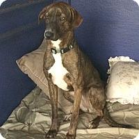 Adopt A Pet :: Mya - Miami, FL