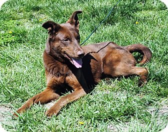 Doberman Pinscher/Labrador Retriever Mix Dog for adoption in Parsons, Kansas - Cassie