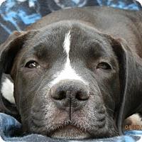 Adopt A Pet :: Zeus TH - Tampa, FL