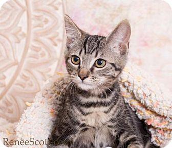 Domestic Shorthair Kitten for adoption in San Jose, California - Indy
