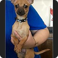 Adopt A Pet :: Pocket - Phoenix, AZ