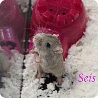 Adopt A Pet :: Seis - Bradenton, FL