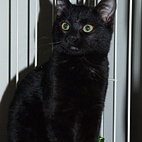 Domestic Shorthair Cat for adoption in Stafford, Virginia - Bonnie
