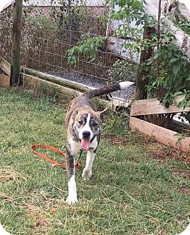 Mountain Cur Mix Puppy for adoption in WESTMINSTER, Maryland - Cola
