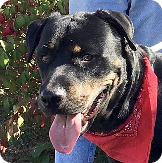 Rottweiler Mix Dog for adoption in Evansville, Indiana - Arnold