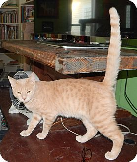 Domestic Shorthair Cat for adoption in Plano, Texas - LONGHORN - CHILL LOVERBOY!