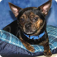 Boston Terrier/Chihuahua Mix Dog for adoption in South Bend, Indiana - Bernie (and Quinn)