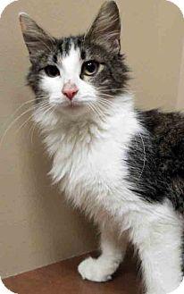 Domestic Shorthair Cat for adoption in Oswego, Illinois - ADOPTED!!!   Kiya