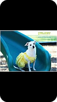 Chihuahua Dog for adoption in Houston, Texas - Juliet