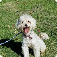 Adopt A Pet :: Gidget - Los Angeles, CA