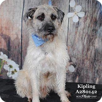 Irish Terrier Mix Dog for adoption in Conroe, Texas - KIPLING