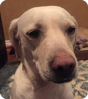 Labrador Retriever/Pug Mix Dog for adoption in Aurora, Colorado - Lilly 7