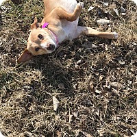 Adopt A Pet :: Rose - Manhattan, KS