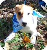 Beagle Mix Dog for adoption in Windham, New Hampshire - Theodore Tbone In New England