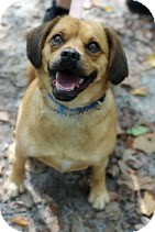 Pug/Beagle Mix Dog for adoption in Tinton Falls, New Jersey - Sugar