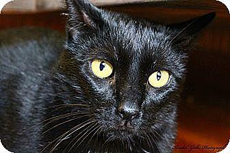 Domestic Shorthair Cat for adoption in Saranac Lake, New York - Jaden