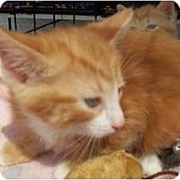 Adopt A Pet :: Apricot - Acme, PA