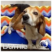 Adopt A Pet :: Barnie - Novi, MI