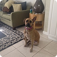 Adopt A Pet :: BELLA - Davie, FL