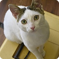 Domestic Shorthair Cat for adoption in Marietta, Georgia - Mickey