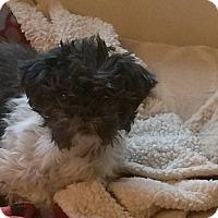 Adopt A Pet :: Babuska - Homer Glen, IL