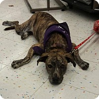 Adopt A Pet :: Holly - Coldwater, MI