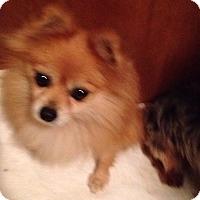 Pomeranian Dog for adoption in Butler, Ohio - Liza