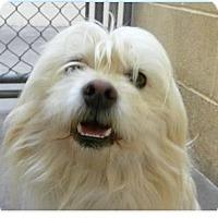 Adopt A Pet :: Cupid - Springdale, AR